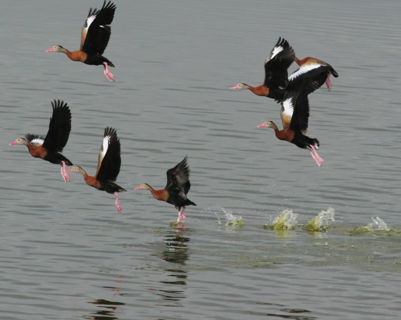 black bellied whistling ducks in flight  _4665a.jpg
