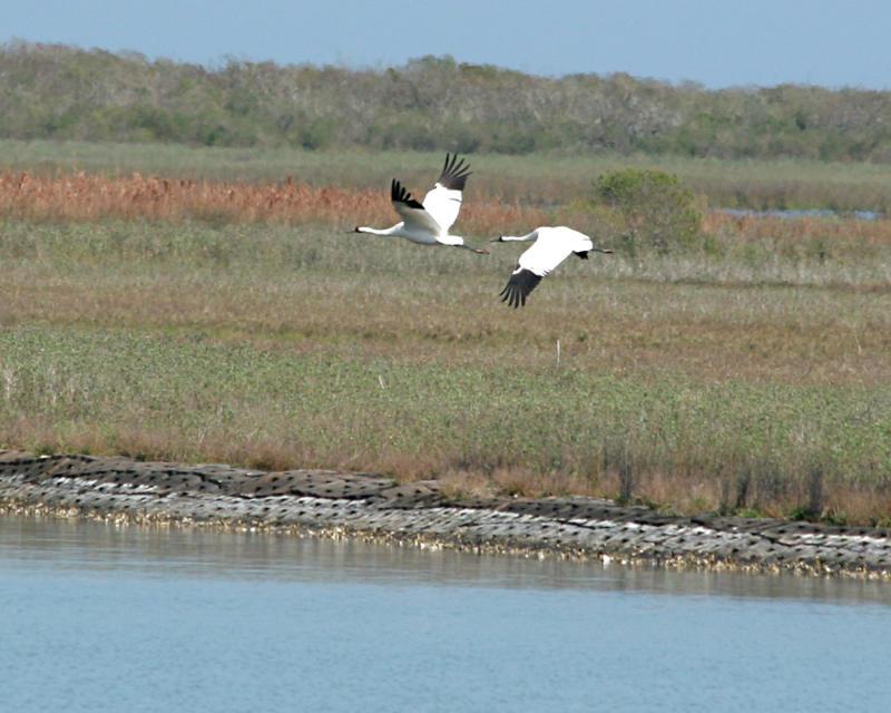 whooping cranes flying _4328.jpg