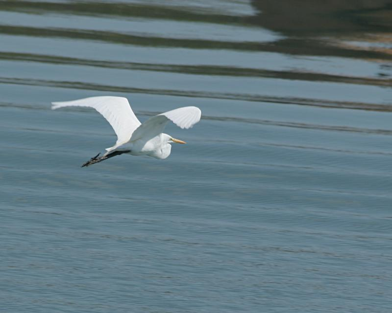 great egret flying 4156.jpg