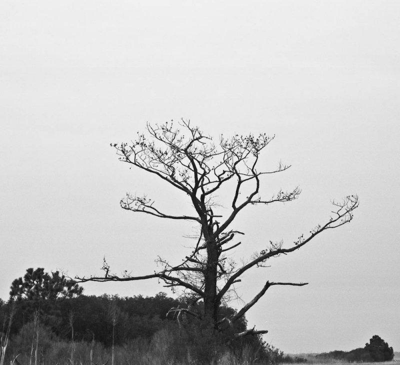 Dead tree, Colonial Parkway, Virginia, 2010.jpg