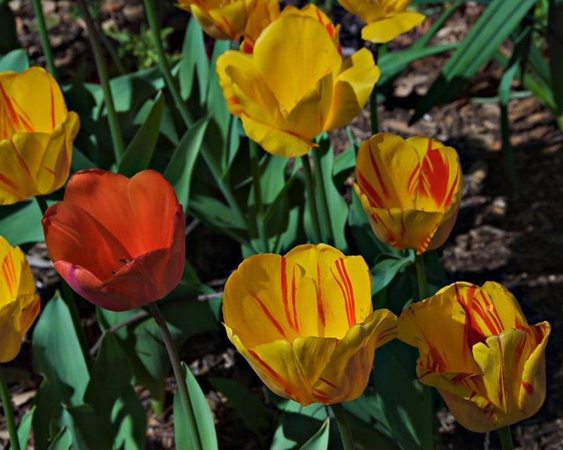 Tulips at Descanso Gardens