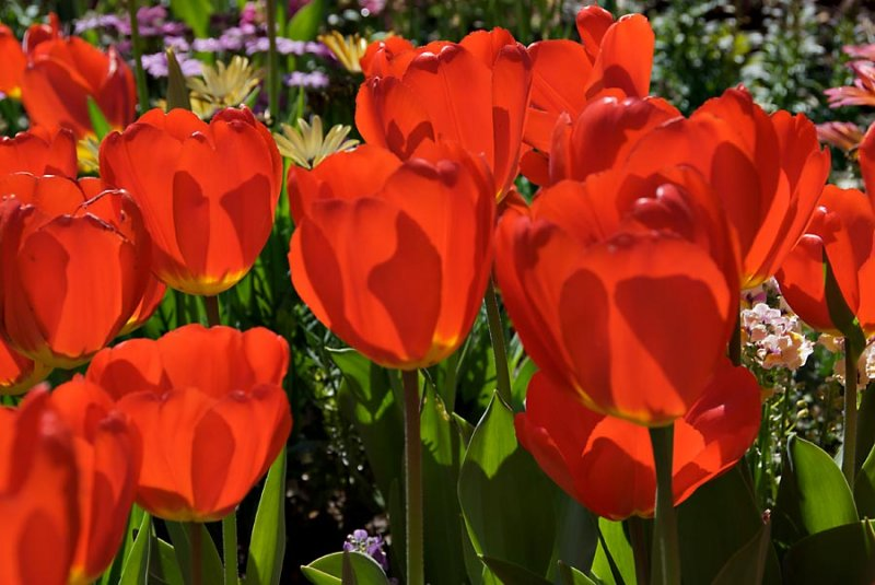 Tulips at Descanso
