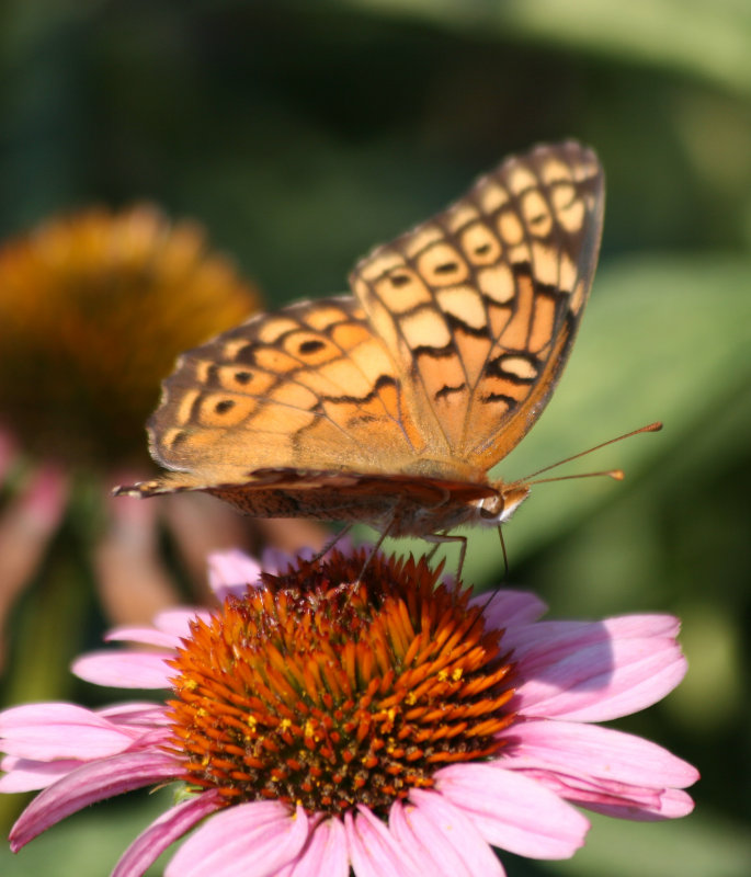 Butterfly & Echinacea