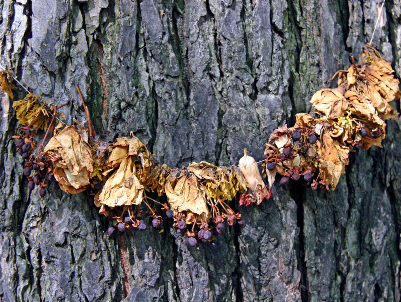 Hare Krishna Tree - American Elm