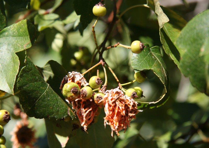 Hawthorne Berries Forming