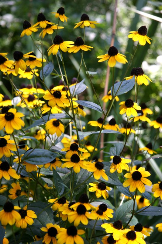 Blackeyed Susans - Liz Christy Garden