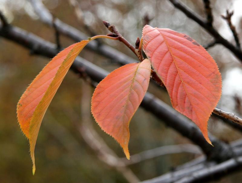 Last Three Cherry Tree Leaves