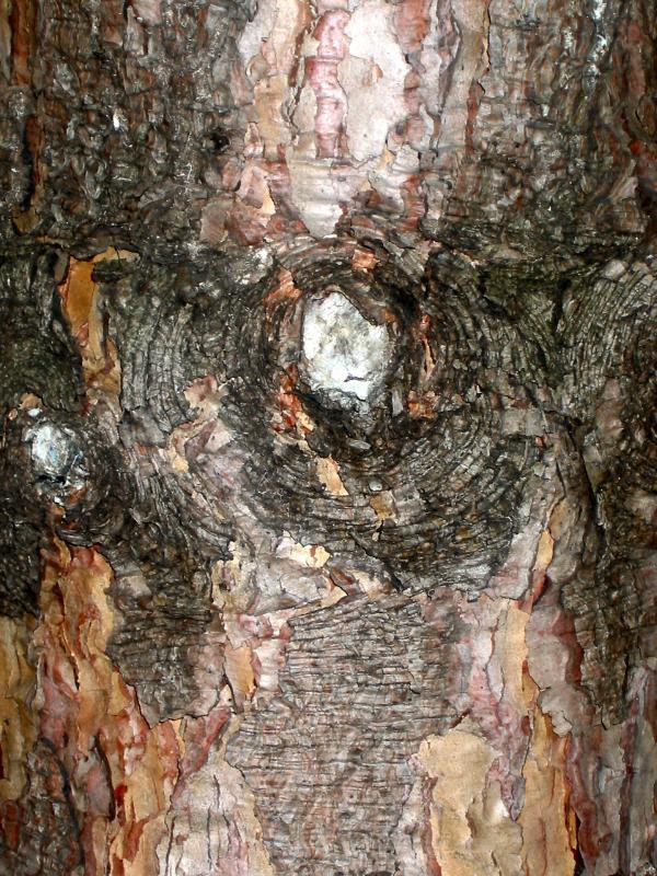Long Needle Pine Tree Bark