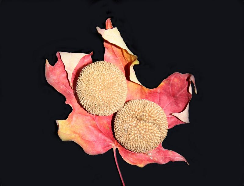 Sycamore Seed Balls in a Maple Leaf Glove