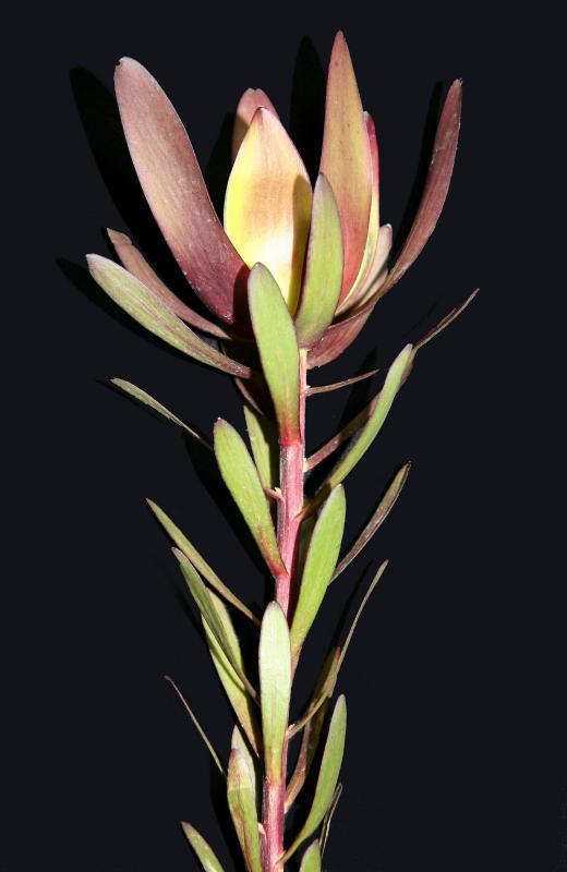 Leucadendron salignum - Common Sunshine Conebush