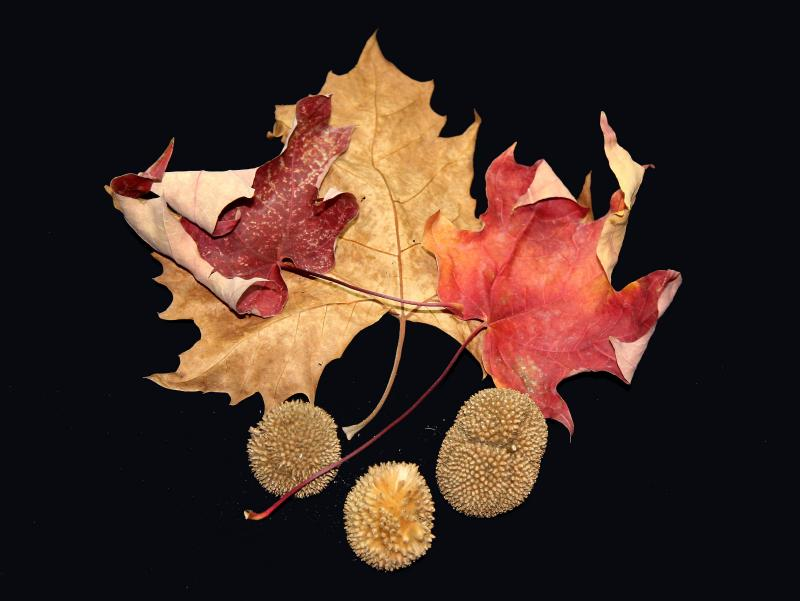 Red Maple Leaves & a Sycamore Tree Leaf with Seed Balls