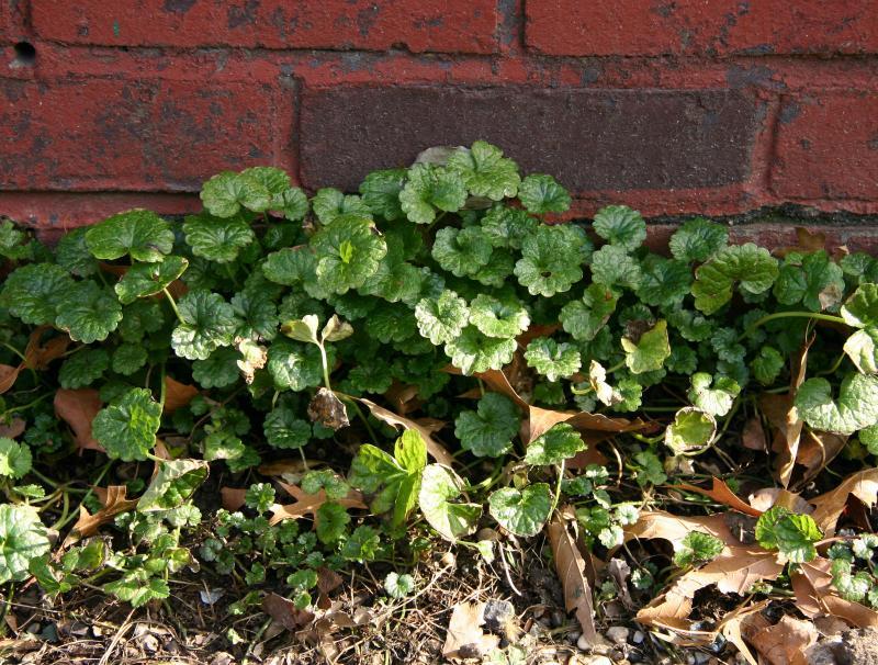 Ground Foliage - Glechoma hederacea