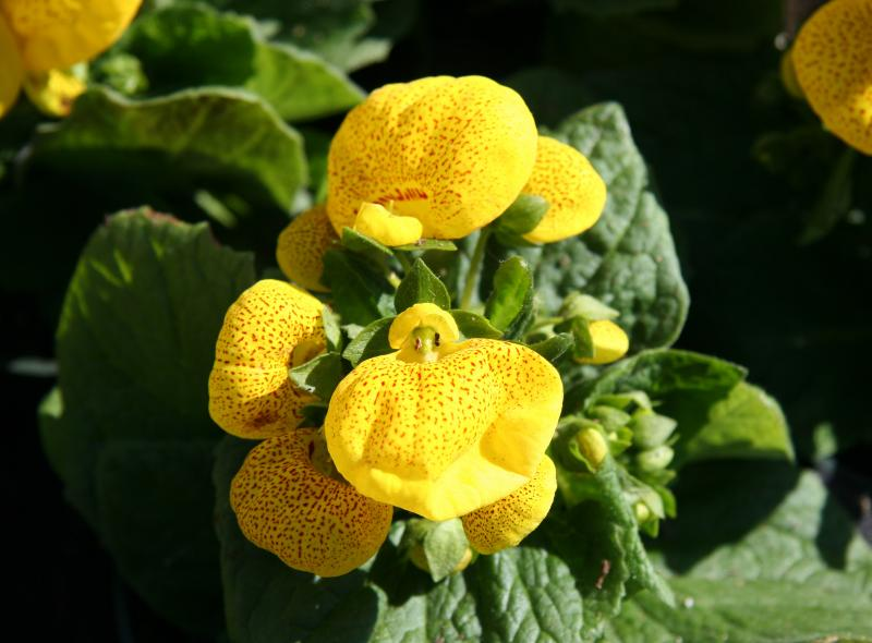 Calceolaria or Pocket/Slipper Flower - Flower Market