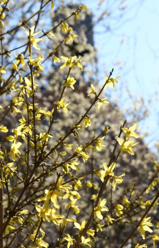 Forsythia & Pussy Willow Buds