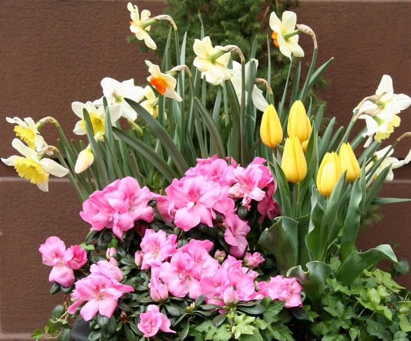 Daffodils, Tulips & Azaleas
