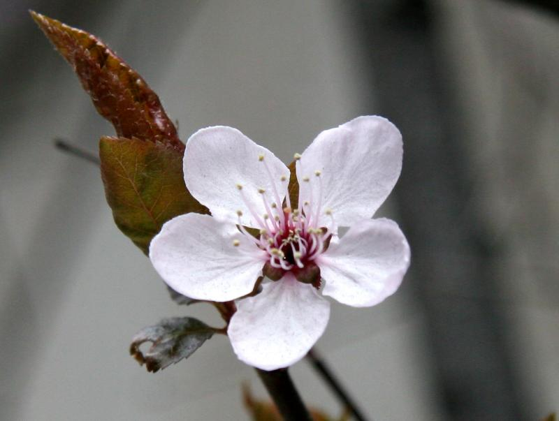 First Cherry Tree Blossom