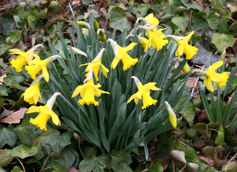 Daffodils in a Bed of Ivy