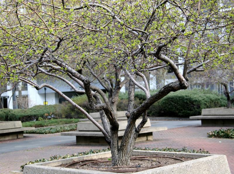 Budding Crab Apple Tree