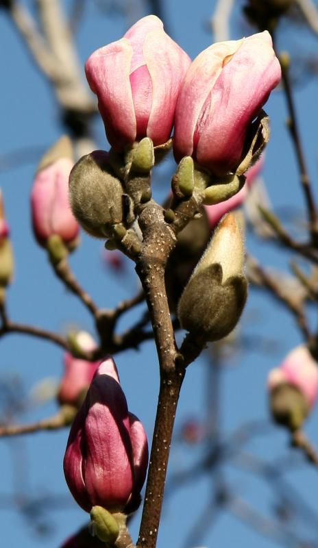 Grace Church - Tulip Tree Blossoms
