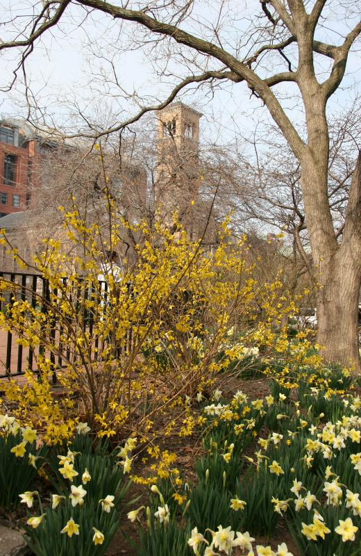 Forsythia & Daffodil Garden