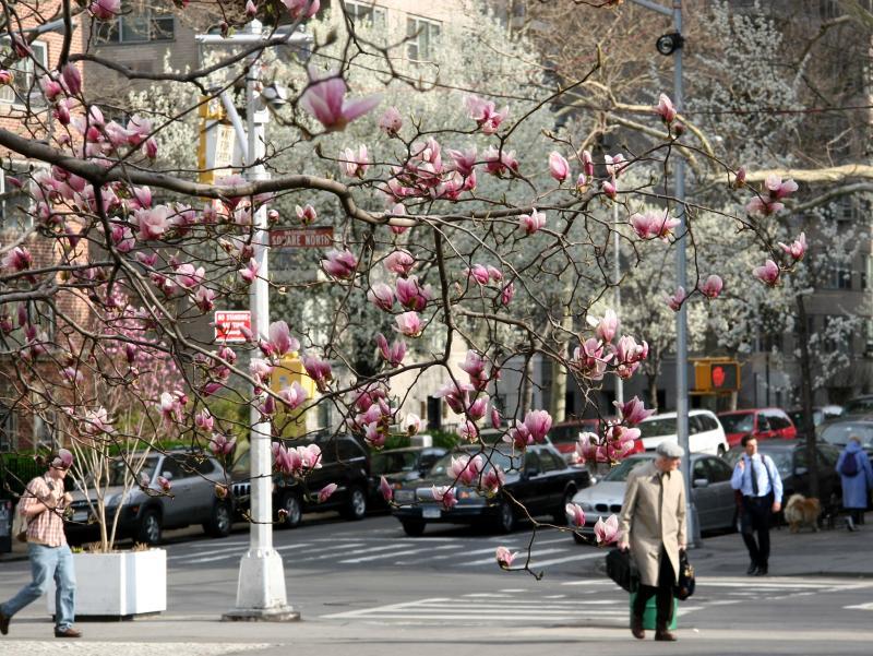 Magnolia & Pear Tree Blossoms on Fifth Avenue