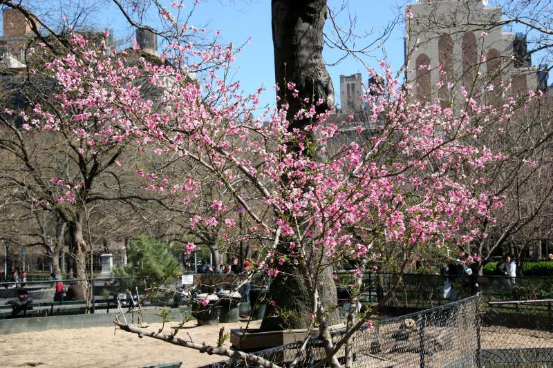 Plum Tree at the Dog Run