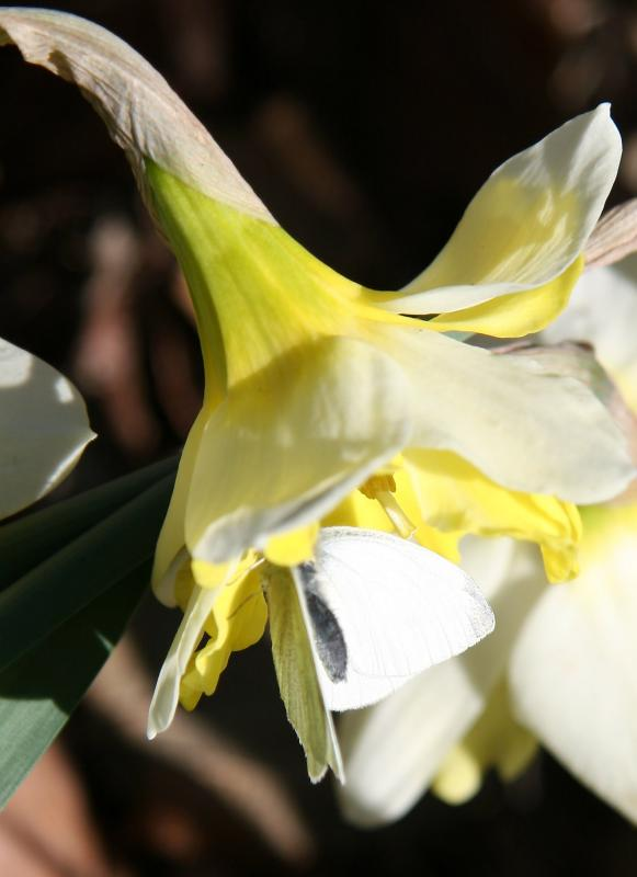 Cabbage Butterfly in a Daffodil Blossom