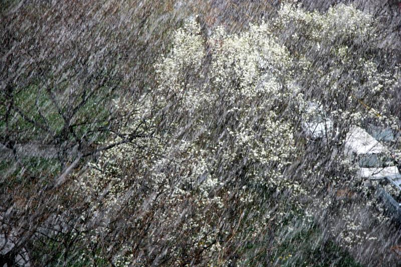 Pear Trees in a Snow Shower