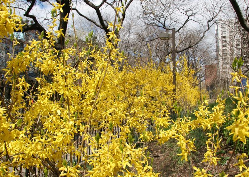 Forsythia Garden