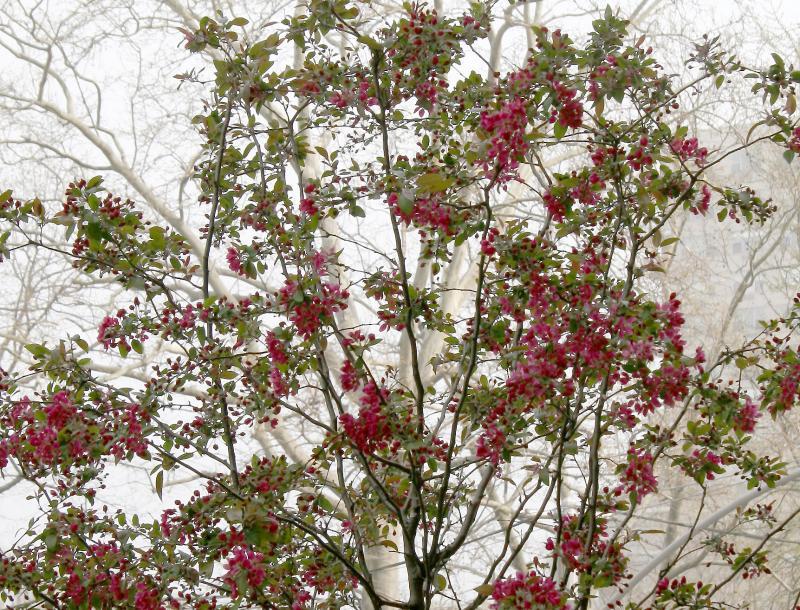 Cherry Tree & London Plane Tree