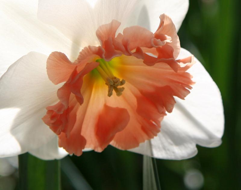 Coral Daffodil