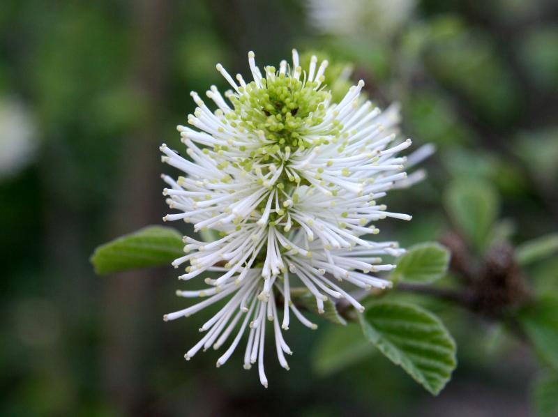 Fothergilla Blossom