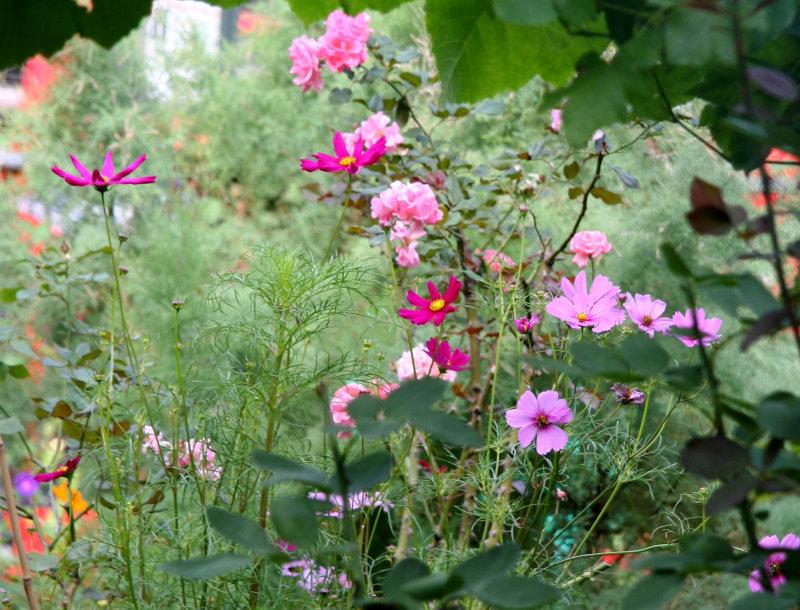 Garden View - Cosmos & Roses