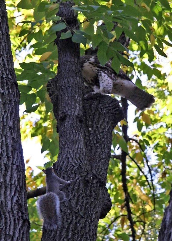 Hawk & Squirrel in an Elm Tree