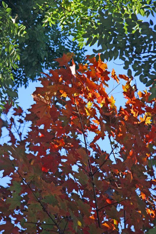Maple & Scholar Tree Foliage
