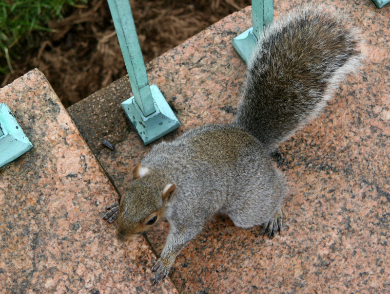Squirrel Climbing Stairs near Kent Hall
