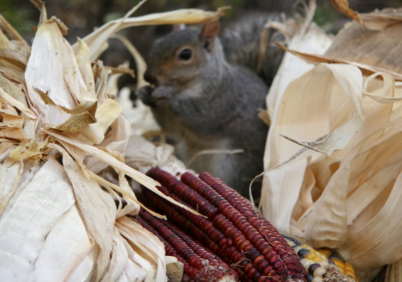Squirrel Munching on Indian Corn