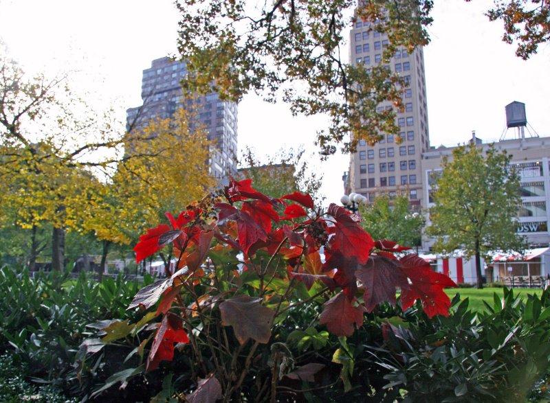 Red Leaf Hydrangea