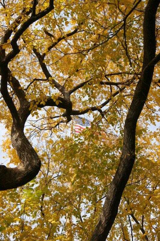 Elm Tree Foliage & USA Flag
