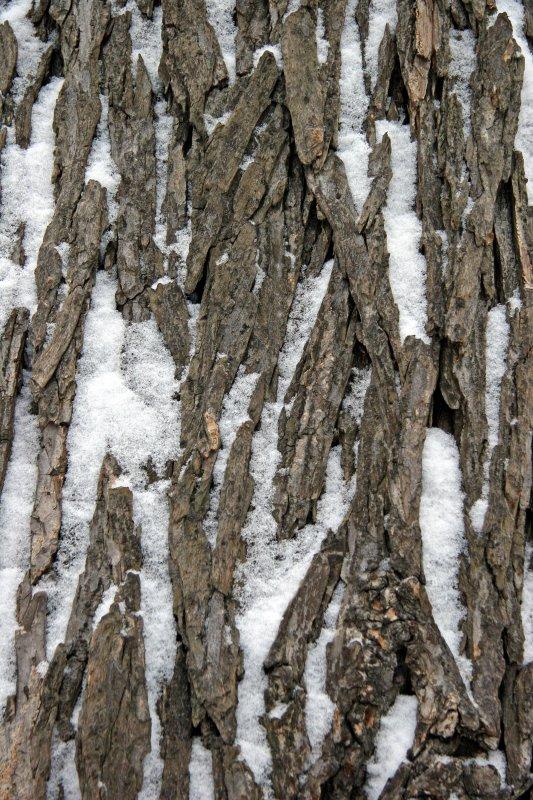 Snow on Elm Tree Bark
