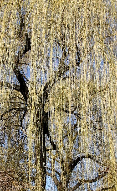 Budding Willow Trees at La Plaza Cultural Community Garden