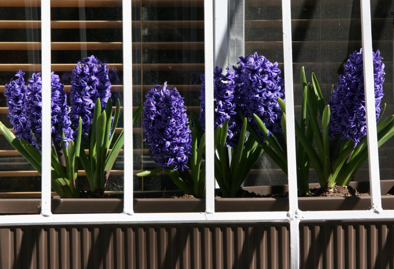 Hyacinth Window Flower Box