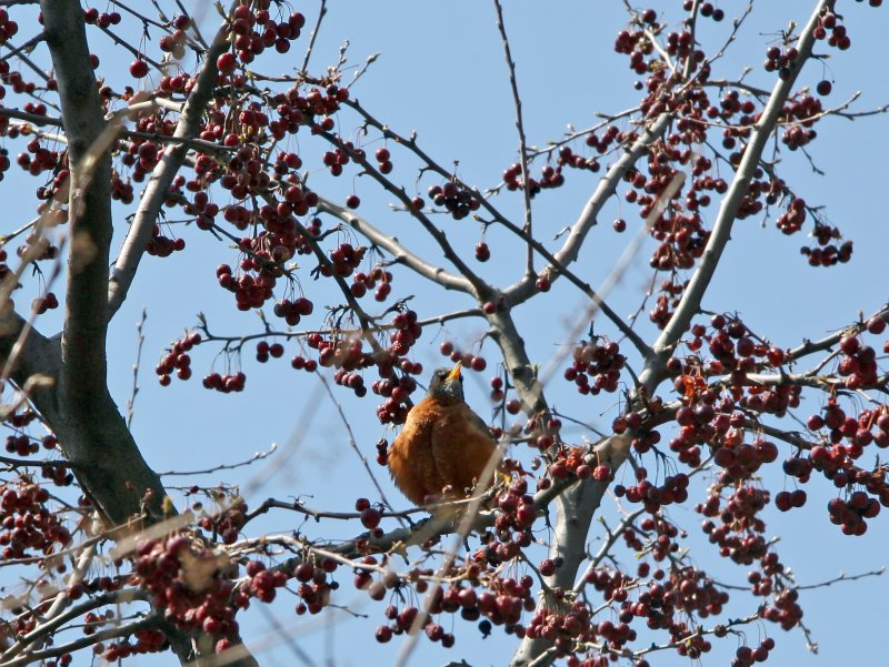 Childrens Adventure Garden - Robin in a Crab Apple Tree