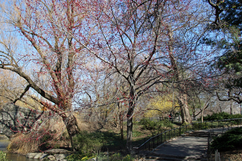 Duck Pond Path & Maple Tree Red Bud Blossoms