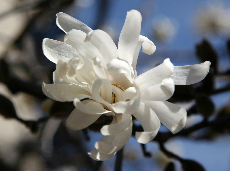 Magnolias - Triangle Garden
