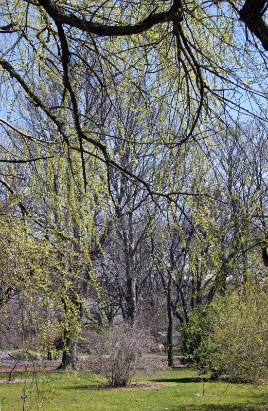 Willows & Catkins