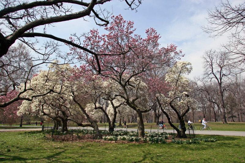 Magnolia Trees in Bloom - Magnolia Hill
