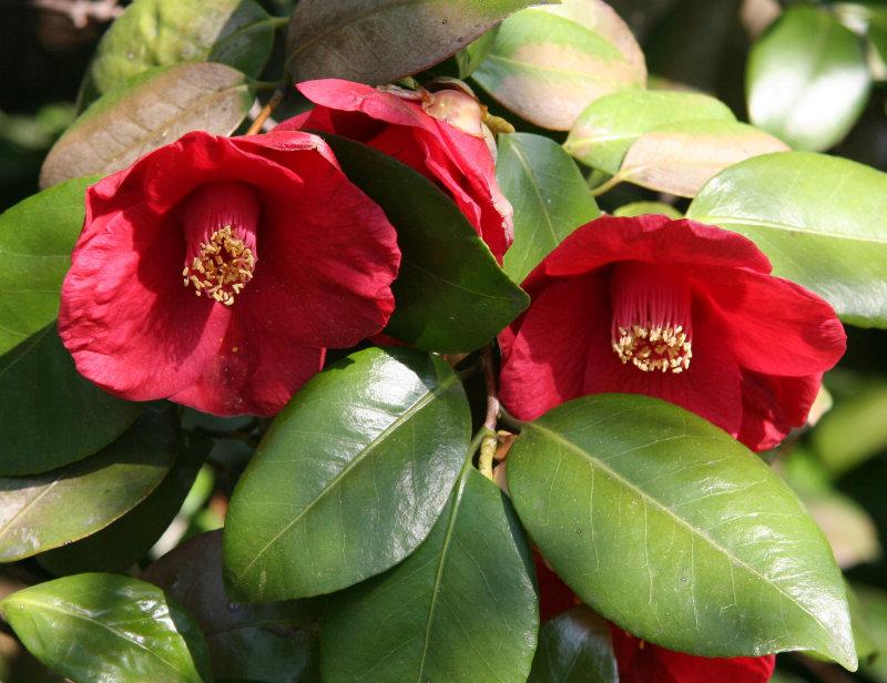 Camellia - Japanese Garden