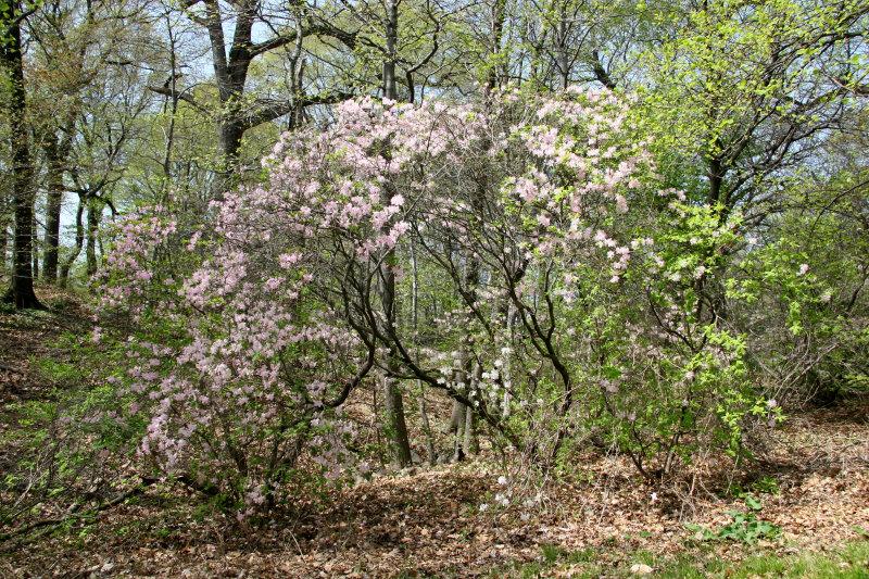 Woods - Dogwood & Azalea