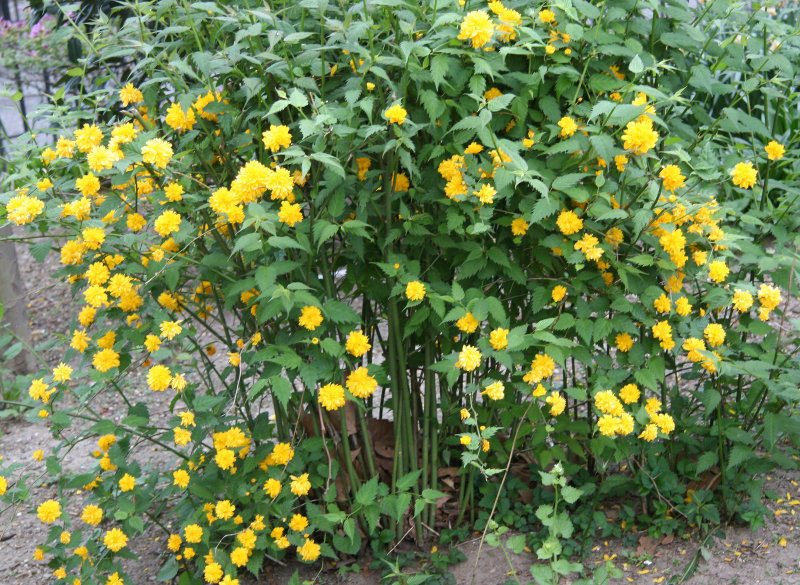 Kerria Bush Flowers